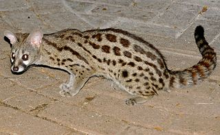 Cape genet species of blotched genet, large-spotted genet, or muskeljaatkat in Afrikaans, a carnivorous mammal related to the African linsang and to the civets