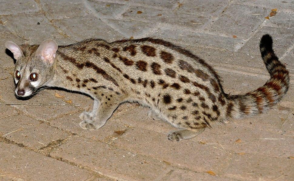 Large-spotted Genet (Genetta tigrina) (17356502041) (crop)