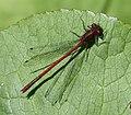 Large Red Damselfly male. Pyrrhosoma nymphula (35132453125).jpg