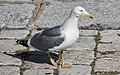 Larus michahellis - April 2020 - Sète 02.jpg