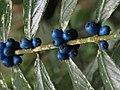Lasianthus sp1.jpg