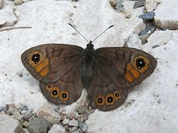 Lasiommata petropolitana - female 01 (HS).jpg