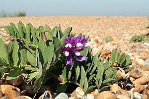 Lathyrus japonicus, a rare plant of shingle. V...