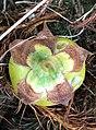 Latua pubiflora fallen fruit broad calyx Logan.jpg