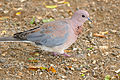 Laughing Dove (Streptopelia senegalensis) (17326371156).jpg