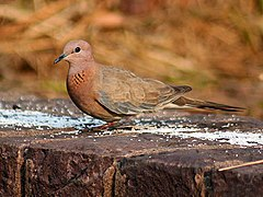 Laughing Dove I IMG 0527.jpg
