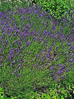 Lavandula angustifolia 001.JPG