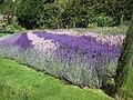 Lavender's Blue - geograph.org.uk - 494916.jpg