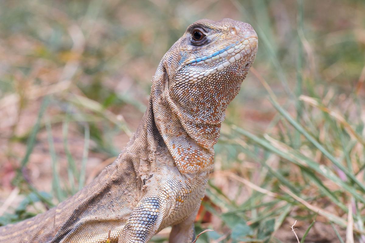 Common butterfly lizard - Wikipedia