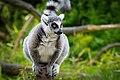 Lemur (36194645340).jpg