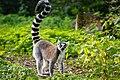 Lemur (37122972026).jpg