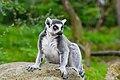 Lemur (37140342152).jpg