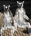 Lemurs sunning.jpg