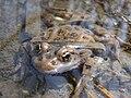 Leopard frog Rana pipiens.JPG