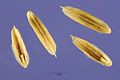 Leptochloa dubia seeds.jpg