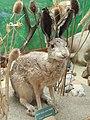 Lepus townsendii - Museum - Garland Ranch Regional Park - DSC06872.JPG