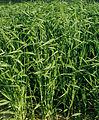 Les Plantes Cultivades. Cereals. Imatge 3202.jpg