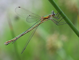 <i>Lestes</i> genus of insects