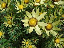 Leucadendron sessile flower
