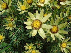 Cone bush -  Male of Sun Cone Bush (Leucadendron sessile) inflorescences in full bloom