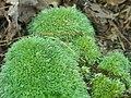 Leucobryum glaucum - Flickr - pellaea.jpg