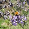 Levendula és méh.jpg