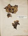 Lichenes Helvetici I II 1842 018.jpg