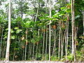 Licuala ramsayi (tanetahi) 004.jpg