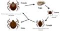 Life cycle of ticks family ixodidae.PNG