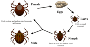 Life cycle of ticks family ixodidae.PNG