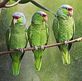 Lilac-crowned Amazon parrots in a U.S. zoo.jpg