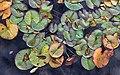 Lily Pads @ Boffins Garden.jpg