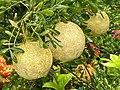 Limonia acidissima in Bangladesh 2.jpg