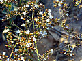 Limonium vulgare FlowersCloseup2 LagunadelaMata.jpg