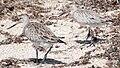 Limosa lapponica-2birds-left.jpg