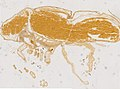Limulus polyphemus (YPM IZ 098241) 001.jpeg