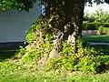 Linde auf dem Friedhof (Ostheim) 11.JPG
