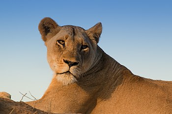 Lion (Panthera leo) female.jpg