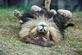 Lion Playing in the Grass (20844136833).jpg