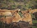 Lions @ Maasai Mara (20792043106).jpg