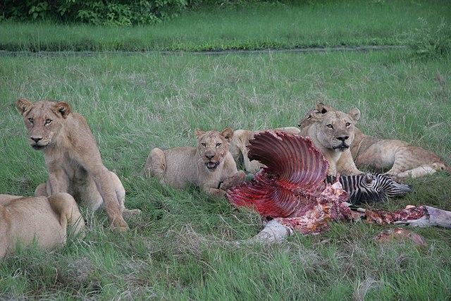Levy - predátory, zebra - korisť