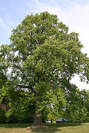 Liriodendron tulipifera - Liriodendron tulipifera cultivated at Laken Park in Belgium