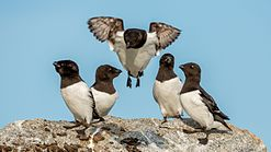Little Auks (Alle alle) on Fuglesangen, Svalbard.jpg