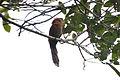 Little Cuckoo (5306630864).jpg
