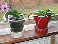 Little orchid D1401.jpg