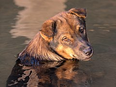 Liver yellow dog in the water looking at viewer at golden hour in Don Det Laos.jpg