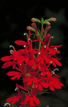 Lobelia cardinalis - Cardinal Flower.jpg