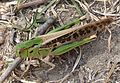 Locusta migratoria - Flickr - gailhampshire.jpg