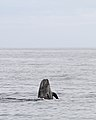 Long-finned pilot whale (Globicephala melas) 02.jpg