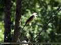 Long-tailed Shrike (Lanius schach) (15862505116).jpg